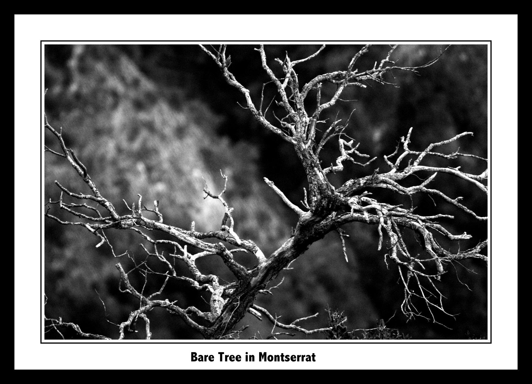 Bare Tree in Montserrat slideshow