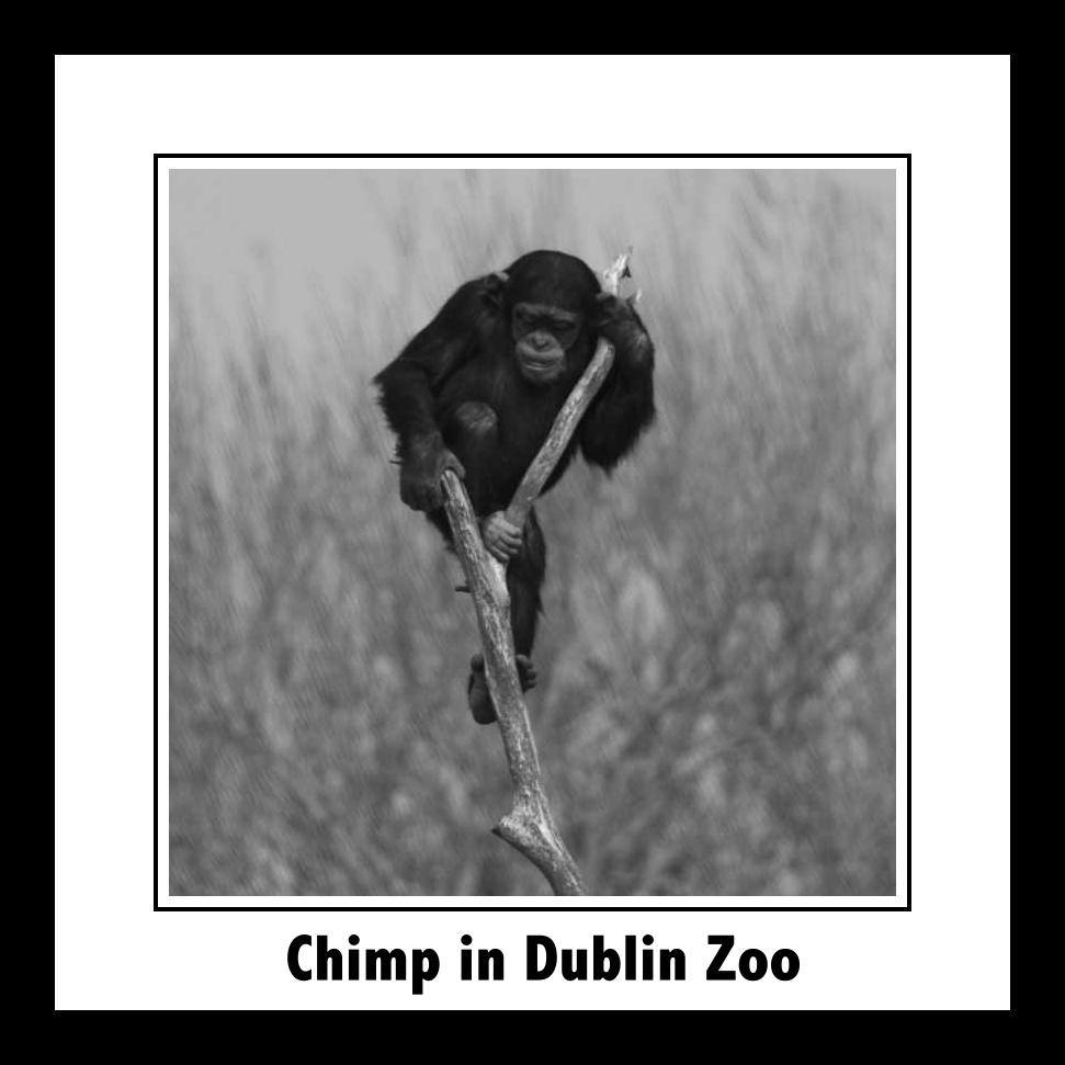 Chimp in Dublin Zoo slideshow