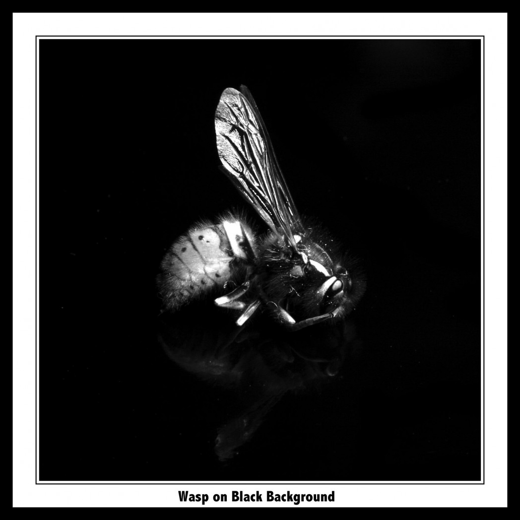 Wasp on Black Background slideshow