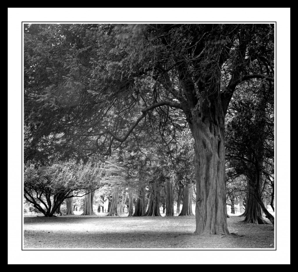 Avenue of trees in The Phoenix Park