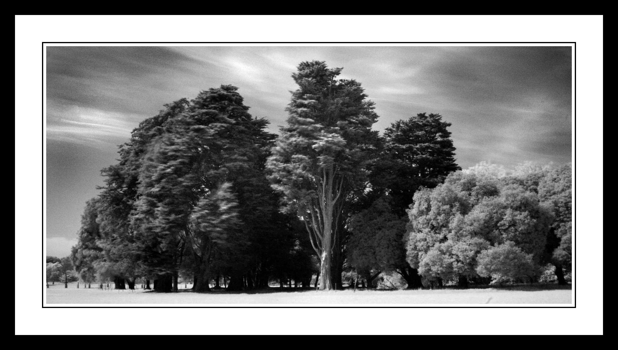 Group of trees in The Phoenix Park