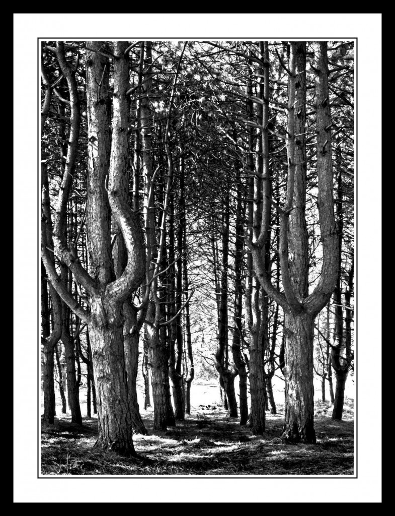 Tall Trees at the Furry Glen in The Phoenix Park