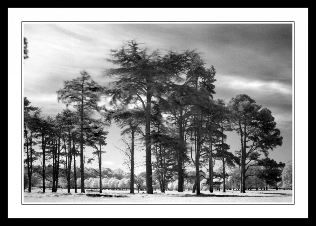 Tall trees in The Phoenix Park