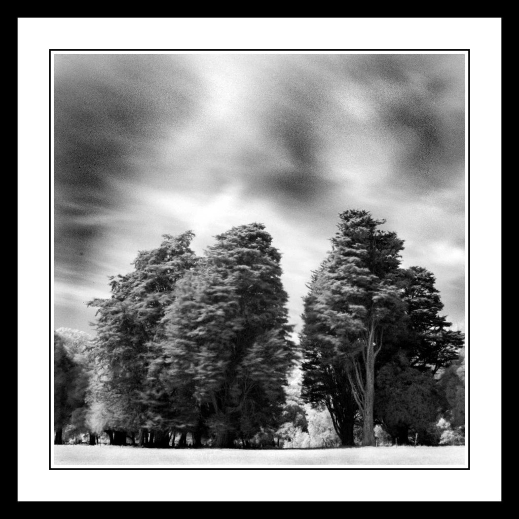 Upright trees in The Phoenix Park