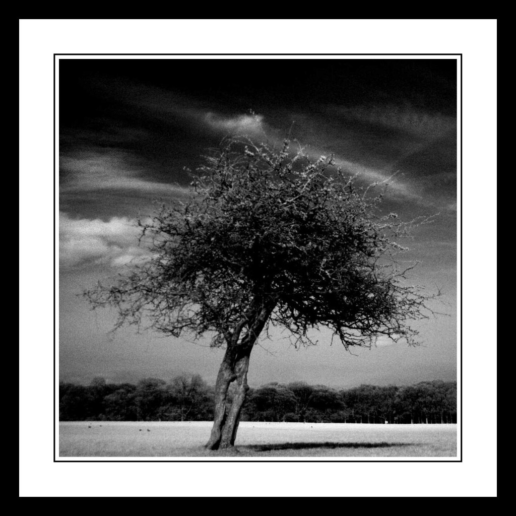 Infra-red-tree-in-The-Phoenix-Park