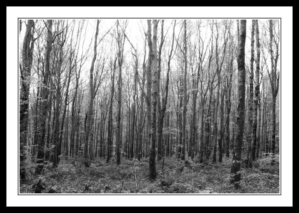 Knocknacree-Forest-Trees