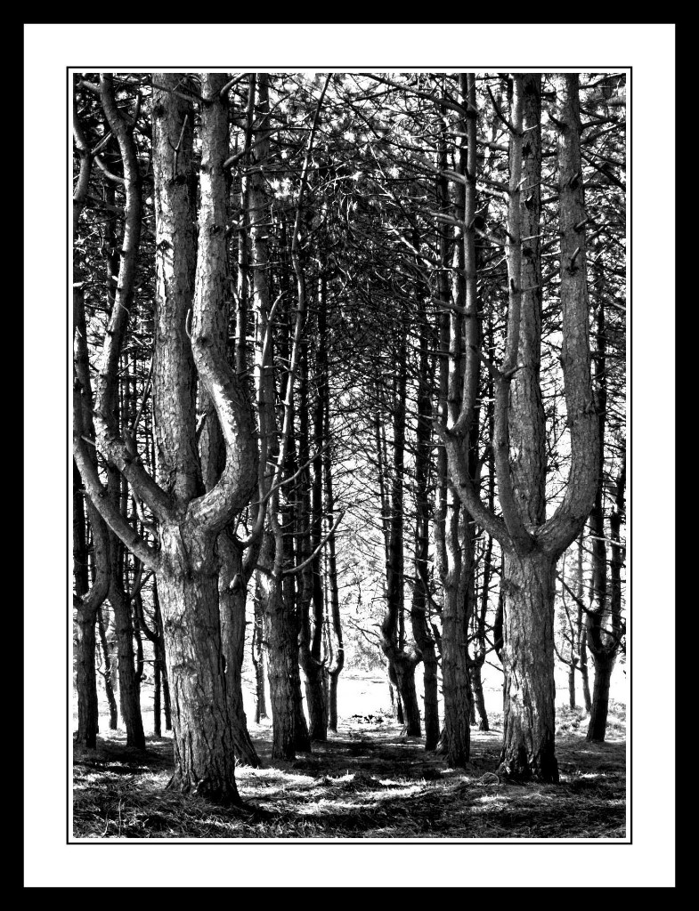 Tall-Trees-at-the-Furry-Glen-in-The-Phoenix-Park1