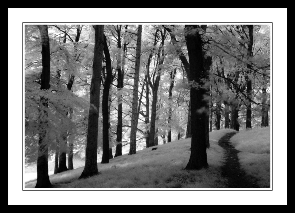Tall-trees-in-shadow-in-The-Phoenix-Park1