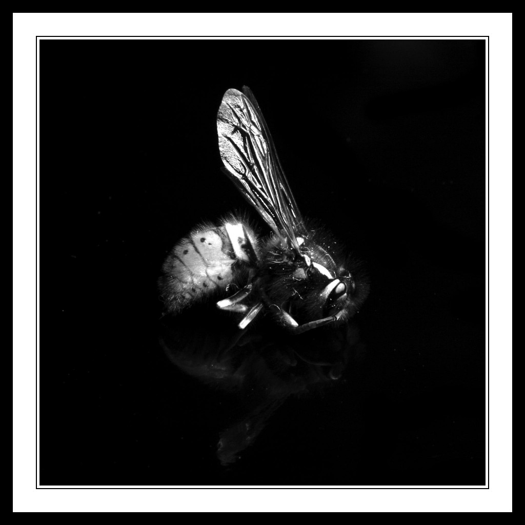 Wasp-on-Black-Background