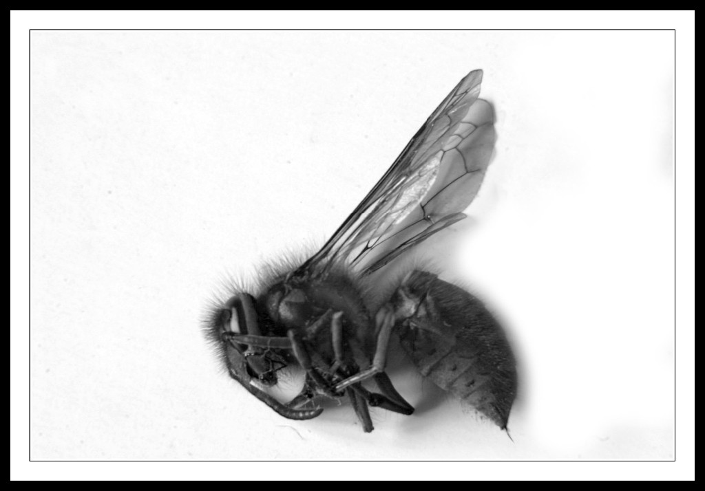 Wasp-on-White-Background